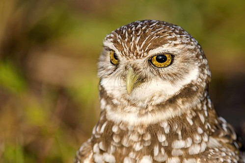 2 portrait bird coral sunrise dawn nikon florida bokeh raptor cape owls avian 051 burrowing 032913