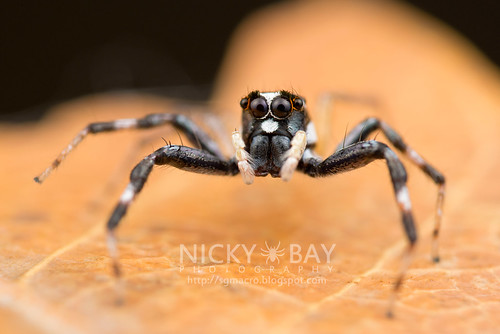 Jumping Spider (Phintella sp.) - DSC_5999 | by nickybay