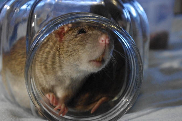 Rats in a jar