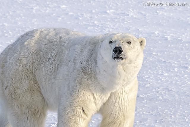 old polar bear