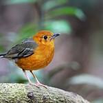 _SYT0034 orange-headed thrush