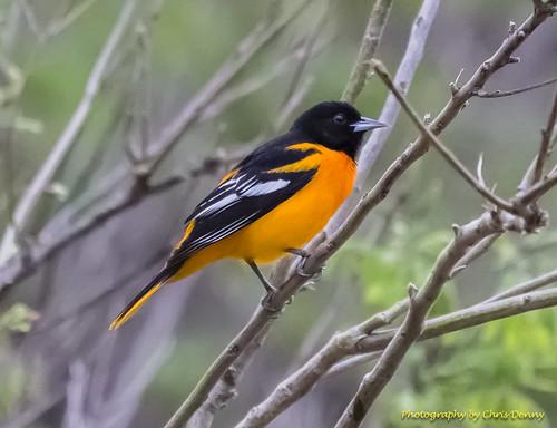 birds oriole