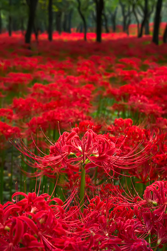 park autumn sunset red sun japan spider lily sony lilies sunburst saitama saitamaken nex redspiderlily hidakashi nex7 dheej18 djvillanueva desereejoyvillanueva sonynex7