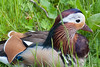 Mandarin Duck close-up by quinet