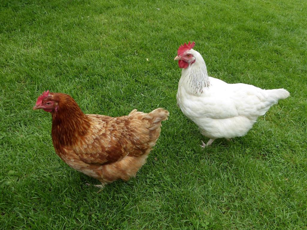 Chickens in the pub garden Thame Circular walk