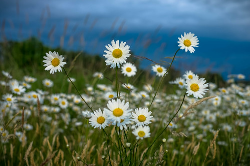 daisies fraser valley evening