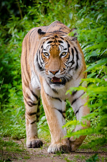Siberian Tiger Elroy from Zoo Duisburg, Germany | by Mathias Appel
