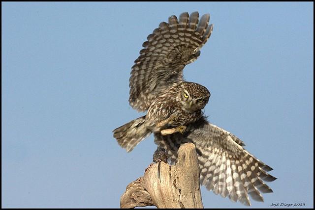 Mocho-galego,Little owl (Athene noctua)