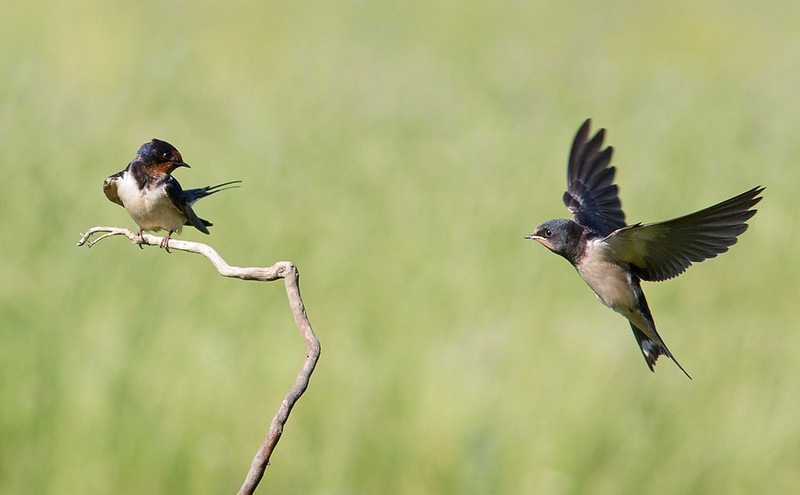 Mother and young Swallow