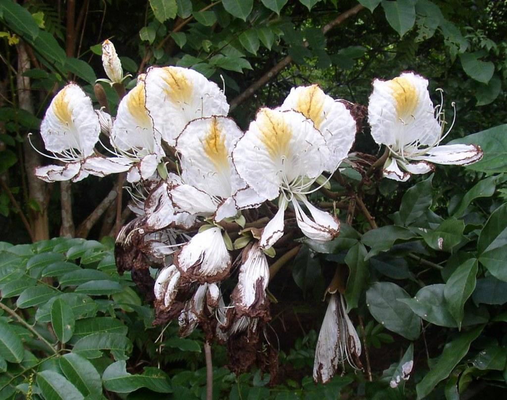 Camoensia scandens (Welw.) J. B. Gillett (FABACEAE)