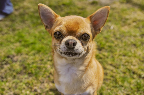 Chihuahua (freestock, read description)