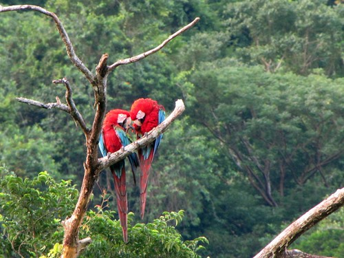 Red-and-green Macaw   by juliangreen21