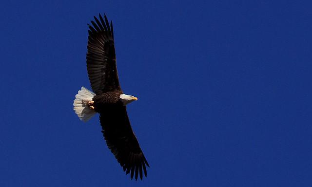 Bald Eagle, 11 February 2014 (5)