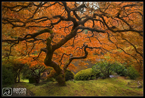 autumn orange tree fall nature wet water oregon garden portland landscape japanese japanesegarden moss maple nikon pretty unitedstates pacific northwest scenic japanesemaple pacificnorthwest pnw columbiarivergorge d800 nikond800