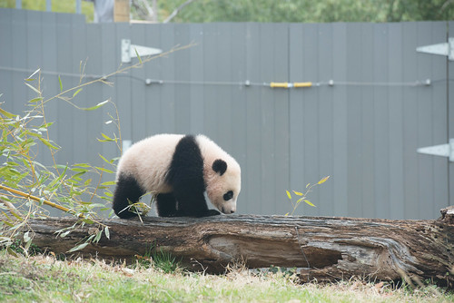 Bao Bao's Second Day Outside April, 2, 2014 | by Smithsonian's National Zoo
