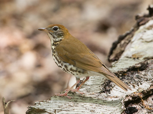 Wood Thrush | by mikemuch1