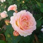 ペッシュ・ボンボンです。#バラ #gardening