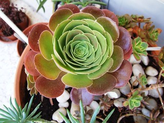 aeonium blushing beauty | by succulove
