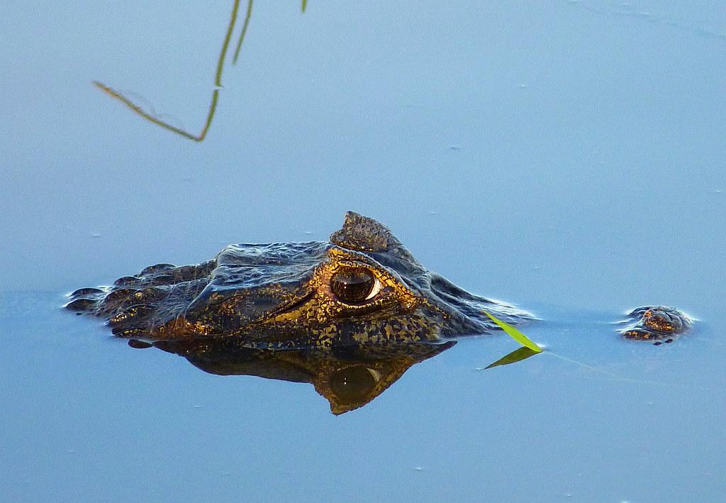 Krokodilkaiman, NGIDn1457038353