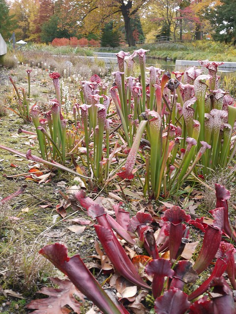 日, 2013-11-03 12:13 - Bronx Botanical Gardenの紅葉