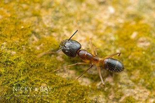 Ant (Formicidae) - DSC_0939