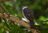 Accipiter superciliosus by mazama973