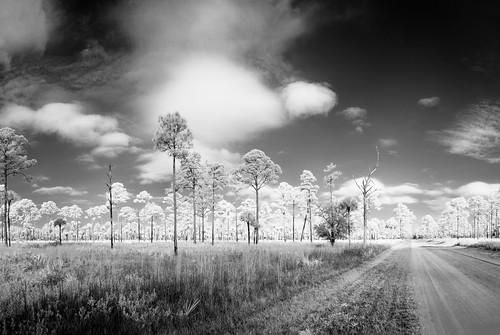 bw blackandwhite centralflorida cloud florida forest grass ir infrared landscape panorama pine sky tree usa christmas tosohatchee edrosackcom
