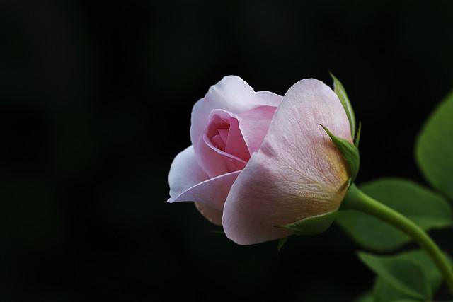 Una rosa para Belén.