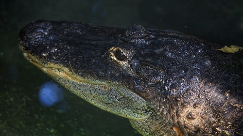 Alligator in dark waters | by Tambako the Jaguar