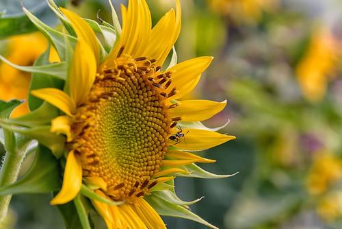 sunflower yellow nikond750 tamron90mm handheld insect carpenterant black googlenik dof depthoffield closeup macrophotography flowerphotography nitya nikon nitya800gmailcom photography flickr nikkor fibonaccinumbers