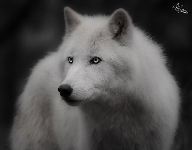 White Wolf  B&W