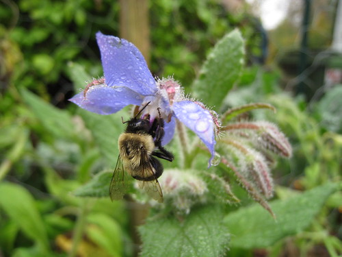 bee on the borage | by boodely