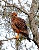 Savanna Hawk/Gavião-caboclo/Aguilucho colorado (Heterospizias meridionalis) by Héctor Bottai