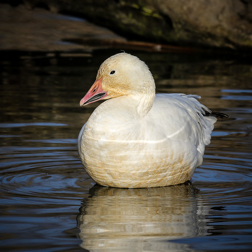 Snow Goose (Chen caerulescens) | by Photo Patty