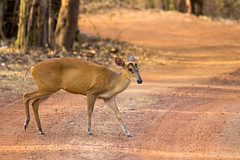 The Indian muntjac (Muntiacus muntjak), also called the red muntjac,common muntjac or barking deer - Tadoba Andhari Tiger Reserve