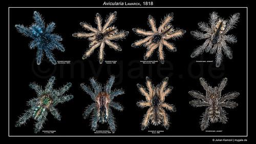 Avicularia Poster v2 (Tarantula Babys) | by mygale.de
