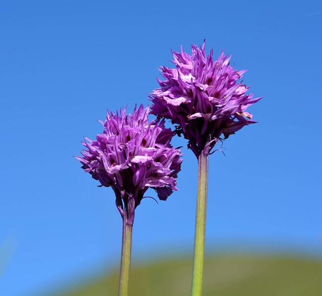 Orchidea screziata
