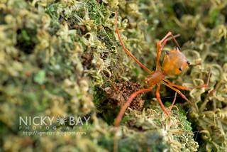 Comb-Footed Spider (Propostira sp.) - DSC_3885