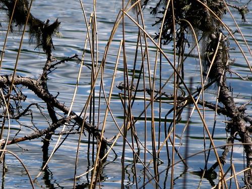 bearpawlake laclahache lake reed closeup weeds water wetland reflection moss nature branch weed