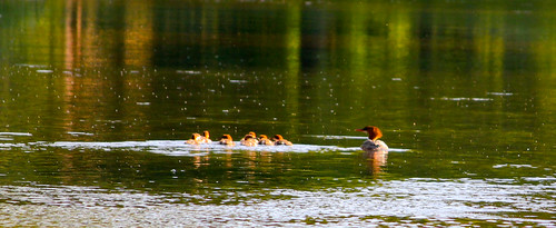bird creek commonmerganser canon55250mmislens