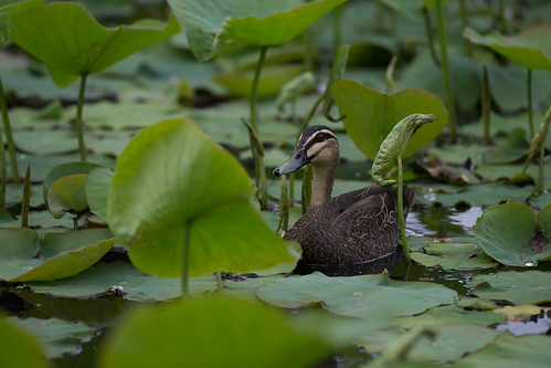 Pacific Black Duck | by zeledonia