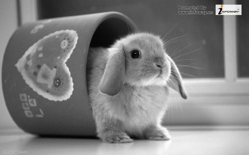 Cute Rabbits Wallpaper Cute Rabbits Wallpaper Flickr