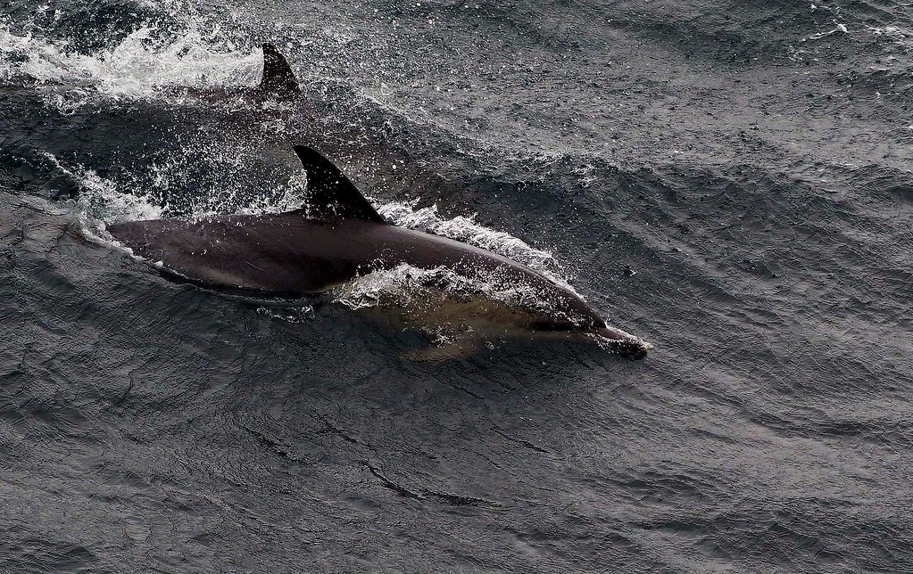 dolphins off the starboard bow