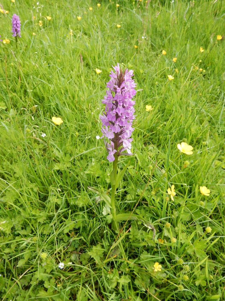 Early Marsh Orchid Southbourne to Chichester