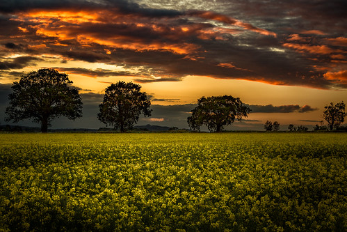 sunset clouds landscape oak colours sonnenuntergang outdoor wolken rape gloucestershire gloucester oaktree landschaft raps canola farben eiche rapsfeld mayhill rapeseedfield oliverherbold