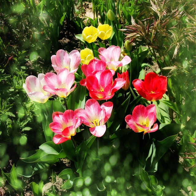 Sonnenberg Gardens & Mansion Historic Park ~ Canandaigua NY ~ Cluster of Tulips