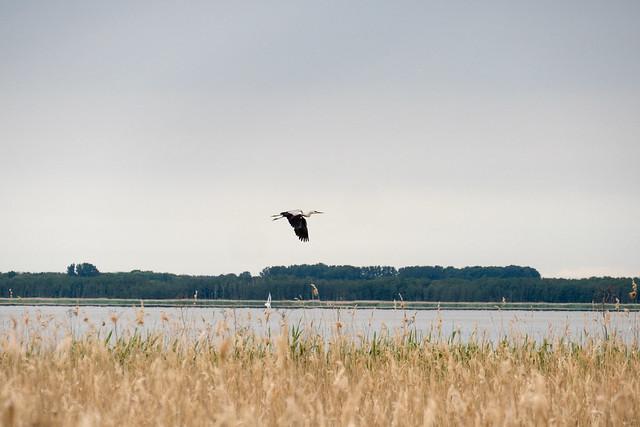 Usedom, Halbinsel Gnitz: Graureiher im Flug über dem Achterwasser bei Lütow - Grey heron flying over the Achterwasser lagoon near Lütow