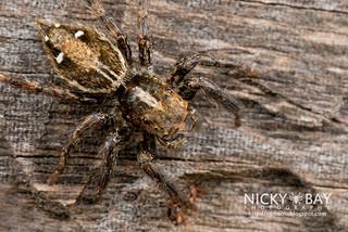 Jumping Spider (Plexippus sp.) - DSC_5011