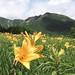 高峰高原に咲くニッコウキスゲ