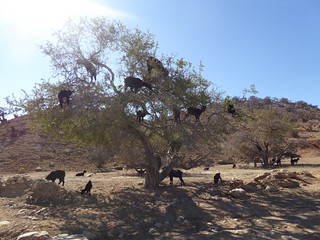 Argan tree goats | by mikel.santamaria